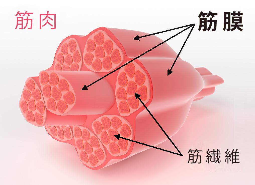 筋膜の位置