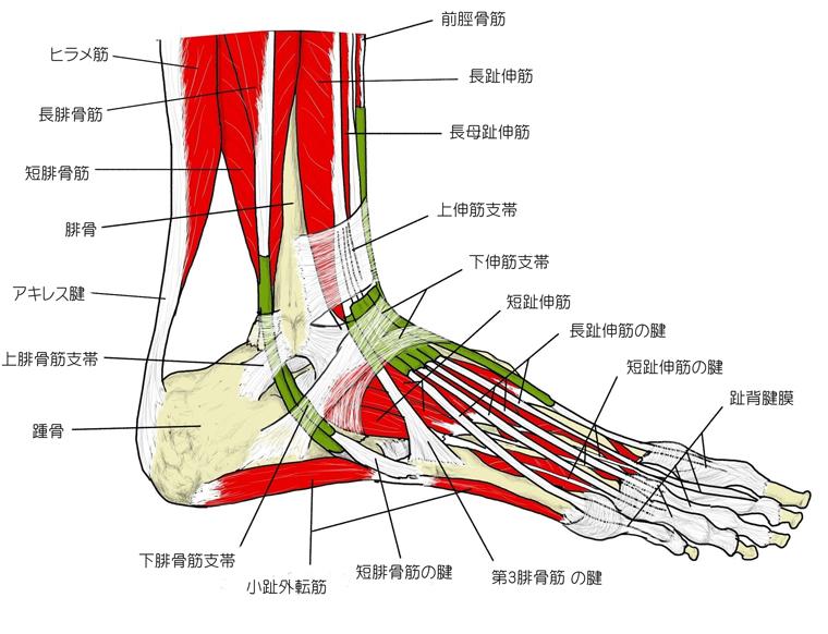 足部の主要な骨と筋肉、腱
