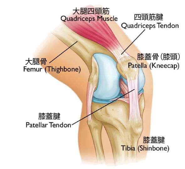 ひざの解剖図
