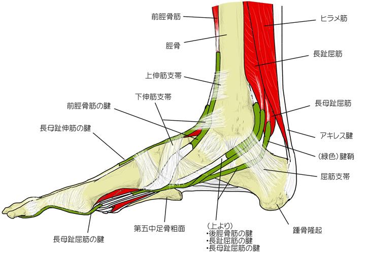 内側から見た足部の構造