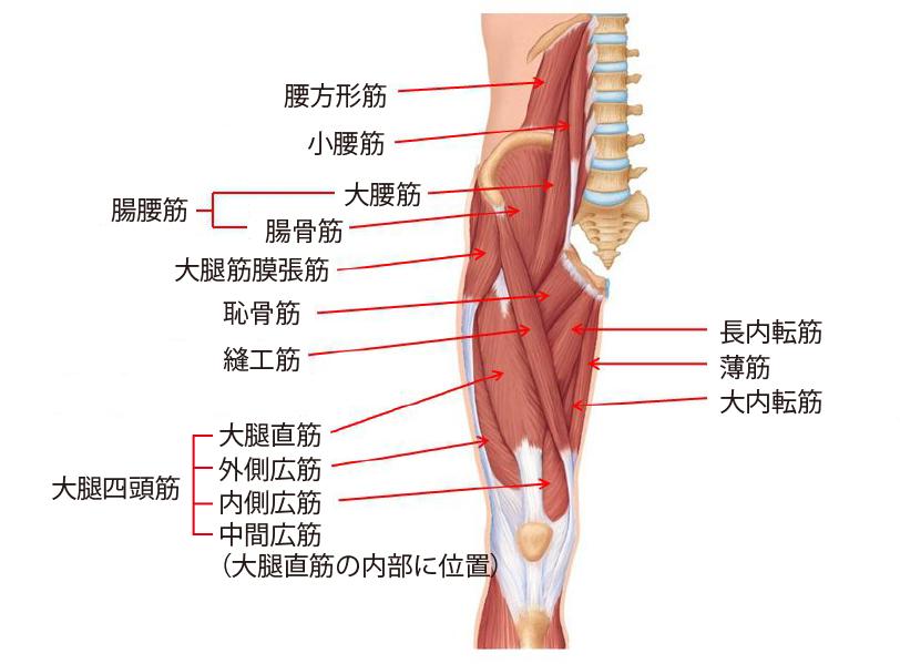 股関節周辺の主な筋肉