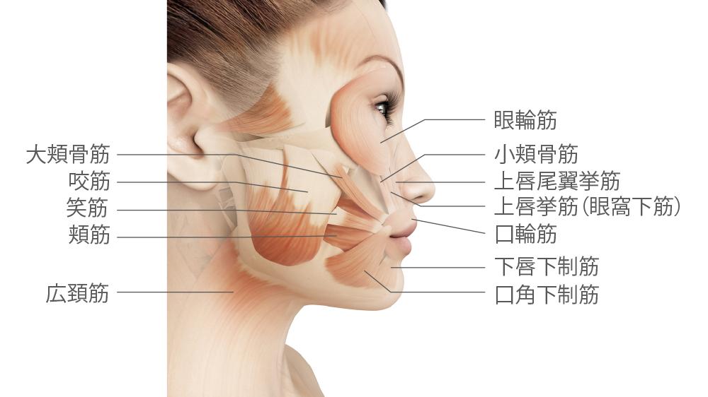 facialmuscles