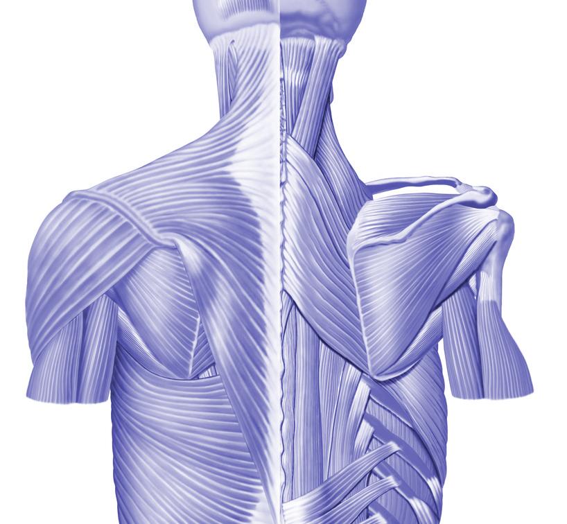 Músculo Romboide menor e maior