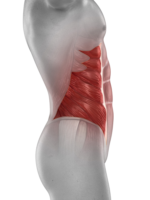 Man external oblique muscle anatomy isolated