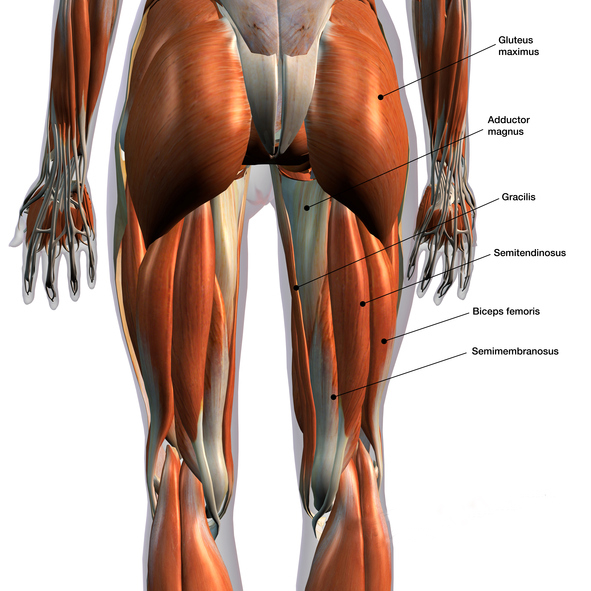 Female Posterior Leg Muscles Labeled on White
