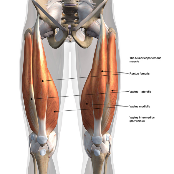 Male Quadriceps Muscles Anterior View Labeled on White