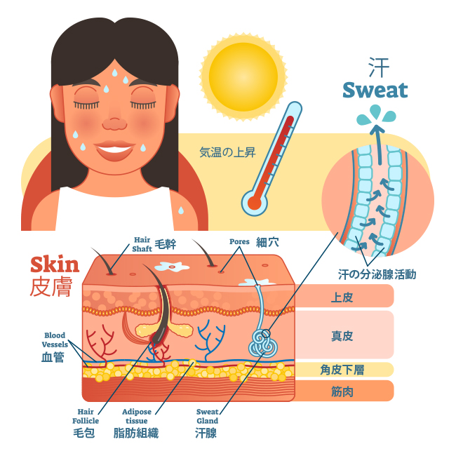 sweat-anatomy